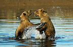 Brown Bear cubs playing in water, Katmai National Park, Alaska