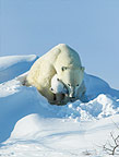 Polar Bear mother with young cub, Manitoba,  Canada.