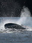 Humpback Whales bubblenet feeding, Petersberg, Alaska