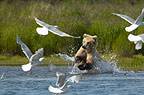 Brown Bear charging through water and birds, Katmai National Park, Alaska