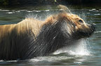 Brown Bear swimming, Katmai National Park, Alaska