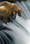 Two Brown Bears fishing, Brooks Falls, Alaska