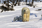 Polar Bear mother with young cubs walking, Manitoba,  Canada.