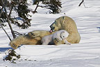 Polar Bear mother with young sleepy cub, Manitoba,  Canada.