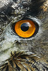 European Eagle-Owl close up (captive)