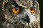 Young European Eagle-Owl (captive)