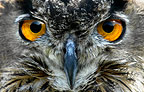 European Eagle-Owl (captive)