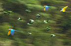 Blue and Yellow Macaws and green Parrots in flight, Tambopata River, Peru