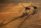 Shadows of two Ring-tailed Lemurs walking away, Berenty, Madagascar