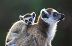 Mother ring-tailed lemur sitting with baby on her back, Berenty, Madagascar