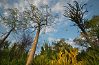 The spiny forest of Berenty, Madagascar