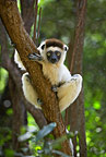 A Verreaux's sifaka clinging on to a tree trunk, Berenty, Madagascar