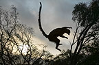A lemur leaping at dusk, Berenty, Madagascar