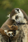 Ring-tailed lemur mother and baby, Berenty, Madagascar