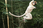 A Verreaux's sifaka flying through the trees, Berenty, Madagascar