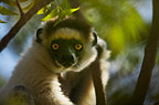 A Verreaux's sifaka staring out from the trees, Berenty, Madagascar