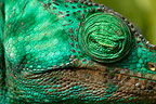 Close-up of the head of a sleeping Parson's chameleon, Perinet, Madagascar