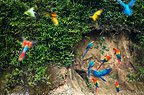 Macaws and green parrots at a claylick on the Tambopata River, Peru