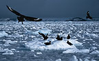 Skuas coming in to land, Antarctica