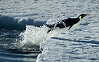 Emperor penguin diving onto ice, Cape Washington, Antarctica