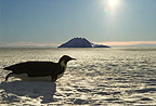 An Emperor Penguin tobogganing on the ice, Cape Washington, Antarctica