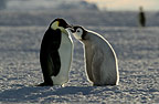 Young Emperor penguin receiving food, Cape Washington, Antarctica