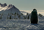 Young Emperor penguin waiting for food, Cape Washington, Antarctica