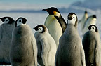 Adult Emperor penguin and young, Cape Washington, Antarctica