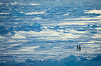 Two Adelie Penguins, Cape Adare, Antarctica
