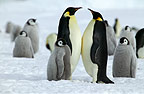 Adult pair of Emperor penguins amongst chicks, Coulman, Island, Antarctica