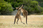 Two kangaroos fighting, Kangaroo Island, Australia.