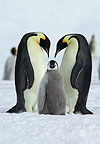 Emperor penguin parents and chick, Coulman Island, Antarctica
