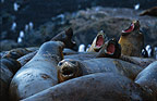 Elephant Seals, Hannah, Point, Antarctica