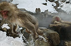 Snow monkey (Japanese macaque) leaping out of the hot springs, Jigokudani National Park, Japan
