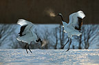 Pair of courting Japanese (red-crowned) Cranes on the island of Hokkaido, Japan