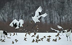 Two Japanese (red-crowned) Cranes dancing amongst Brown-eared Bulbuls, Hokkaido Island, Japan.