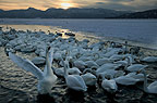 Whooper Swans on the shoreline, Hokkaido Island, Japan