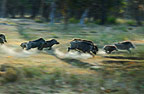 Herd of stampeding Indian Wild Boar, Bandhavgarh, India.