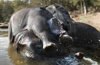 Young Indian Elephant playing in the water with his mother, Kanha, India.