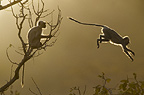 Hanuman Langur leaping through the treetops, Bandhavgarh, India.