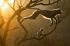 Hanuman Langur leaping through the treetops, Bandhavgarh, India