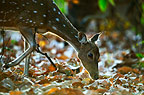 Chital or Spotted Deer foraging for food, Bandhavgarh, India.