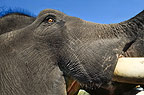 Close up of the head of an Indian Elephant, Kanha, India.