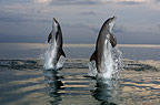 Two Bottlenose Dolphins, Honduras