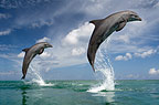 Two Bottlenose Dolphins leaping, Honduras