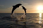 Bottlenose Dolphins leaping at sunset, Honduras