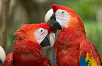 Close up of two Scarlet Macaws, Honduras