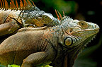 Two green iguanas, Honduras