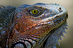 Head of a green iguana, Honduras