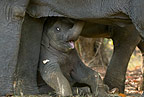 Young Indian Elephant resting beneath his mother, Bandhavgarh, India